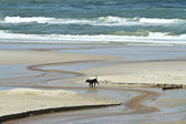 Small dog walking at the beach — Stock fotografie