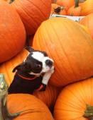 Poopsie in Pumpkins — Stock Photo