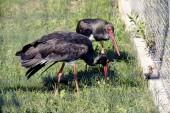 Black Storks — Stock Photo
