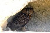 Owl or Grand Duke ornithological park — Stock Photo
