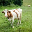Постер, плакат: Cow standing chewing grass