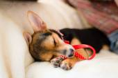 Small dog with red ribbon sleeping on bed, closeup image — Stock Photo