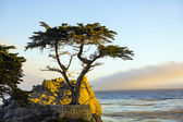 Lonely cypress tree in California — Stock Photo