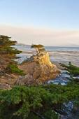 Cypress at the coastline in sunset — Stock Photo