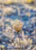 Frozen plants in meadow  in wintertime — Stock Photo