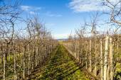 Apple Orchard Rows — Stock Photo