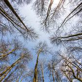 Spring tree crowns on deep blue sky — Stock Photo