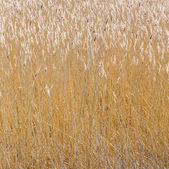reed grass at the backwater   — Stock Photo