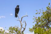 Raven at a tree at grand canyon — Stock Photo