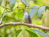 Green-crowned Brilliant hummingbird perching on branch — Stock Photo
