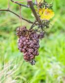 Grape leaves, close-up  — Stock Photo