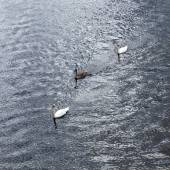 Swan with family swims at triver Rhine — Stock Photo