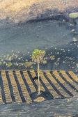 Palm tree in volcanic wineyard area La Geria in Lanzarote  — Stock Photo
