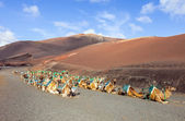 Camels at Timanfaya national park wait for tourists — Stock Photo