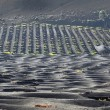 Vineyards in La Geria, Lanzarote, canary islands, Spain.  — Stock Photo #59913313