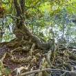 Beautiful old trees in the swamp area in Koh Chang — Stock Photo #60184585