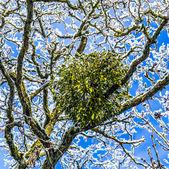 Mistletoe in the tree — Stock Photo
