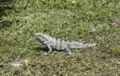 Wild big lizard   — Stock Photo
