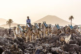 Camels in sunset  — Stock Photo