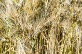 Yellow corn field in detail — Stock Photo