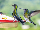 Hummingbirds in Brazil  — Photo