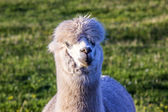 Alpaca portrait — Stock Photo