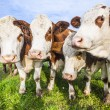 Cattles at a meadow waiting for feeding — Stock Photo #64651611