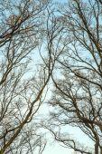 Silhouettes of oak trees — Stock Photo