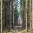 Footpath through a pine forest — Stock Photo #67671165