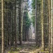 Footpath through a pine forest — Stock Photo #67858461