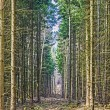 Footpath through a pine forest — Stock Photo #67859339