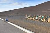 Camels in the national park in Lanzarote — Stock Photo
