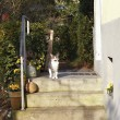 White and brown cat sitting on doorstep of the house — Stock Photo #69971141