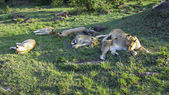 Lion family relaxes in Masai Mara National Park. — Stock Photo