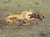 Lion family eating in Masai Mara National Park. — Stock Photo