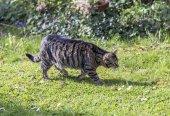 Tiger cat strolls around in the garden under the sun — Stock Photo