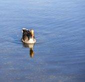 晴れた日に湖の上のアヒル家族 — ストック写真