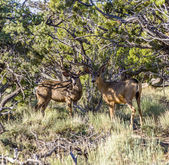 Deers in morning light in the forest — Stock Photo