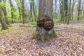 Big tree stump in the forest — Stock Photo