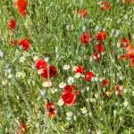 Red poppy flowers meadow — Stock Photo #75915119