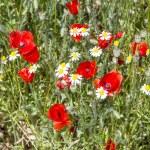 Red poppy flowers meadow — Stock Photo #75915239