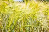 Barley ears. Hordeum vulgare — Stock Photo
