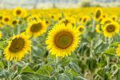 在乡下的向日葵字段 — 图库照片