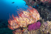 Starfish on seafan — Stock Photo