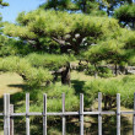 Japanese bonsai pine tree — Stock Photo #56038851