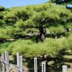 Japanese bonsai pine tree — Stock Photo #56039941