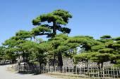 Japanese garden with pine trees — Stockfoto