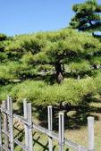 Japanese bonsai pine tree — Stock Photo