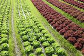 Lettuce plant in a farmland — Stok fotoğraf