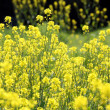 Canola flower plants — Stock Photo #69459027